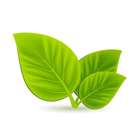 Trois feuilles vertes sur fond blanc Banque d'images - 10556651
