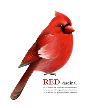 cardinal bird: Red cardinal on white background. Illustration. Christmas symbol Stock Photo