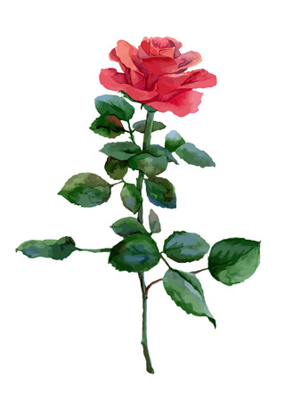 Single watercolor red rose isolated on white background. Vector illustration
