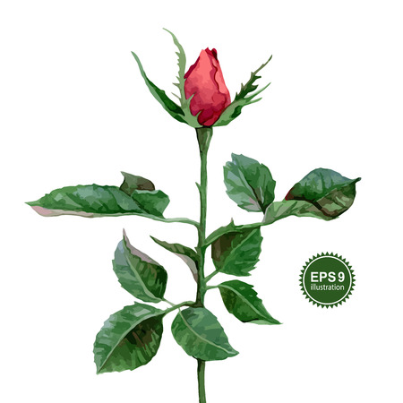 Single watercolor red rose isolated on white background