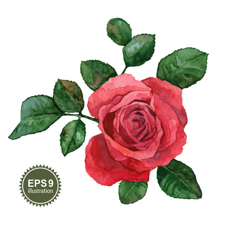 Single rose flower on a white background