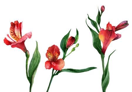 Set de fleurs isolées Alstroemeria. Illustration d'aquarelle Banque d'images - 26624793
