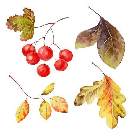 guelder rose: Set of isolated elements of   leaves and berries. Vector illustration