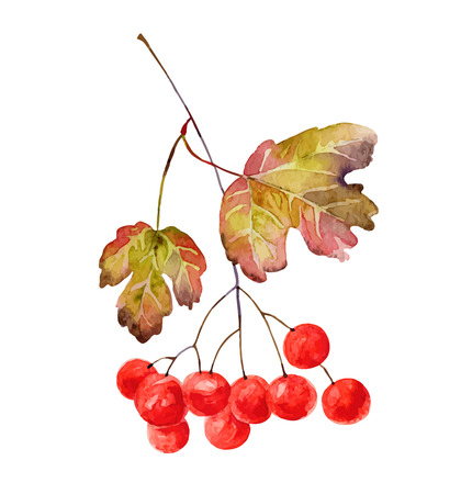 guelder rose: Viburnum branch with leaves isolated on white background. Vector illustration Illustration