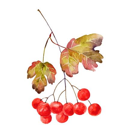 Viburnum branche avec des feuilles isolées sur fond blanc. Vector illustration Banque d'images - 33262069