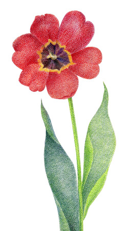color pencil: Red tulip isolated on white background. Pencil drawing