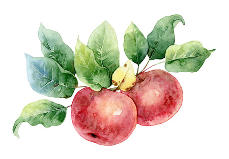 Two bright red watercolor apples on a branch with leaves. Watercolor illustration