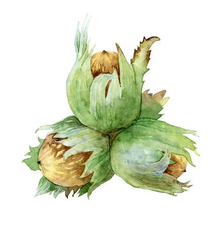 macro leaf: Hazel nut on white background. Watercolor illustration