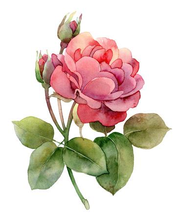 rosebud: Single bright pink rose isolated on white background. Watercolor illustration Stock Photo