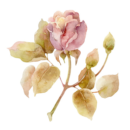 nature one painted: Single gentle pink rose isolated on white background. Watercolor illustration
