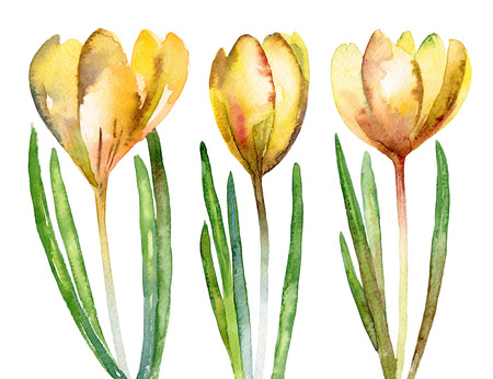 crocus: Set of yellow flowers crocus isolated on white background. Watercolor illustration Stock Photo