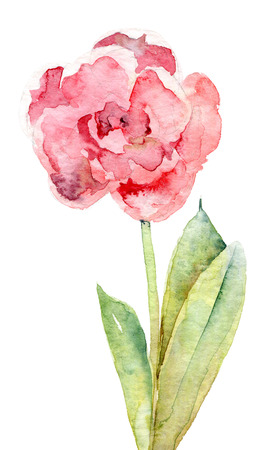 picturesque: Single double pink tulip isolated on white background. Watercolor illustration Stock Photo