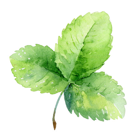 nature one painted: Single green strawberry leaf isolated on white background. Watercolor illustration Stock Photo