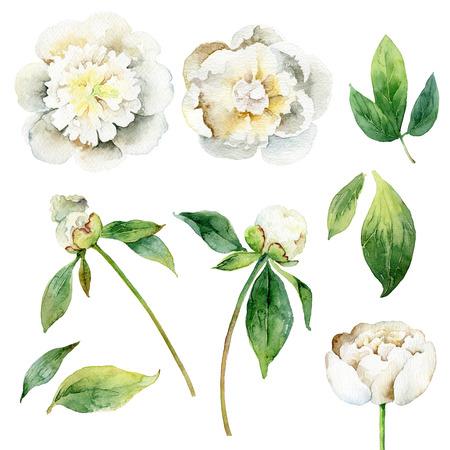 Peonie bianche. Set di elementi floreali isolati su sfondo bianco. illustrazione dell'acquerello Archivio Fotografico - 64200993
