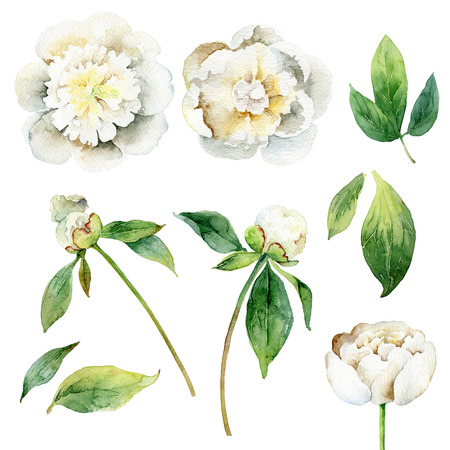 pion: White peonies. Set of floral elements isolated on white background. Watercolor illustration