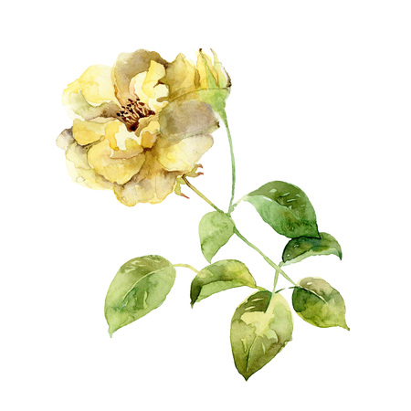 buds: Single yellow rose isolated on white background. Watercolor illustration