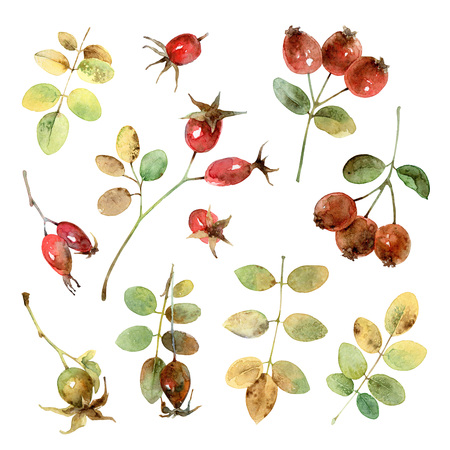 eglantine: Set of beautiful autumn branches and berries briar. Watercolor illustration