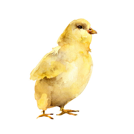 Yellow watercolor chicken on white background