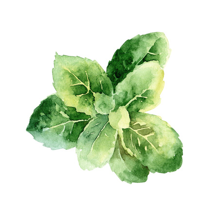 Isolated green mint leaves