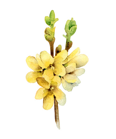 forsythia: Watercolor forsythia blooming twig