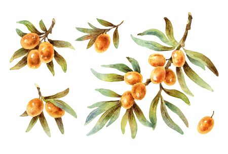 Watercolor twigs with sea buckthorn berries
