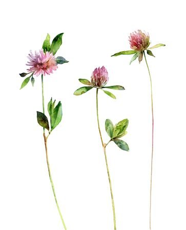 Watercolor clover flowers isolated on white background Banque d'images