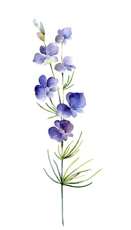 Watercolor delphinium flower on white background