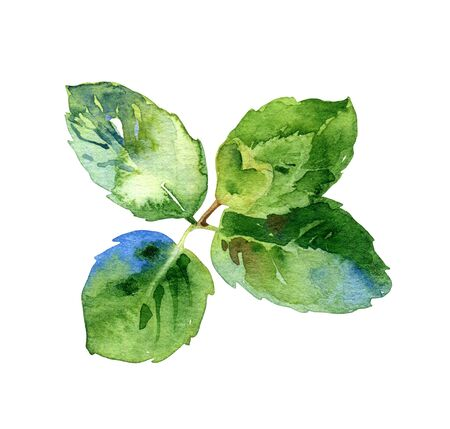 Watercolor isolated green mint leaves Banque d'images
