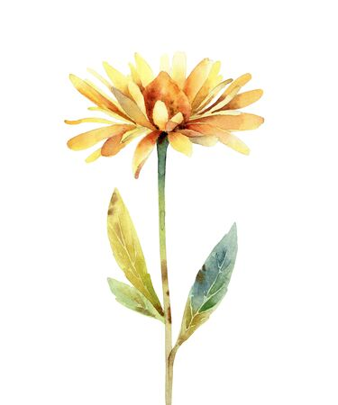 Rudbeckia flower on white background. Watercolor illustration