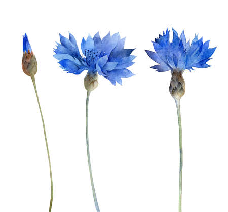 Watercolor blue cornflowers isolated on white background