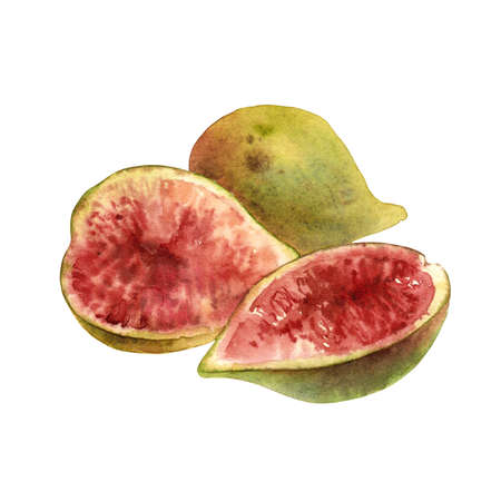 Watercolor green figs on white background Banque d'images