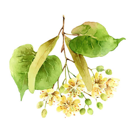 Linden flowers isolated on white background Illustration