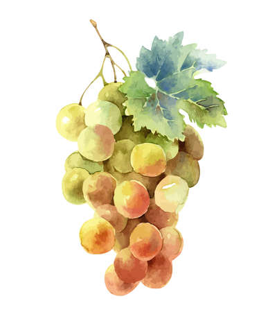 Bunch of grapes isolated on white background Banque d'images - 155917525