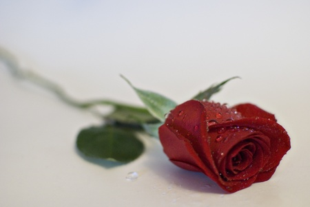 A red rose with dew drops isolated on white.
