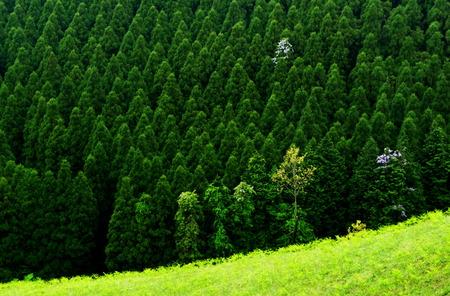 spring green: Cedar trees