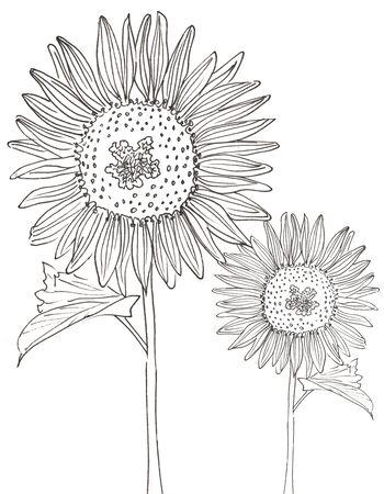2 black and whie sunflowers on a white background Zdjęcie Seryjne