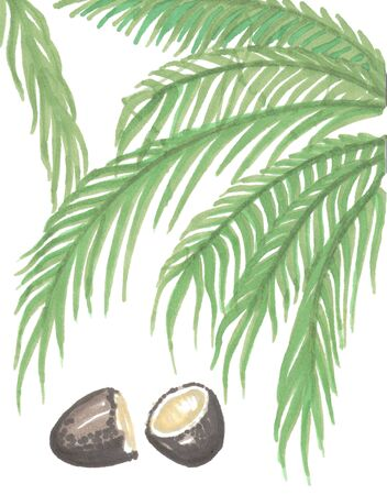 green palm leaves and open brown coconut