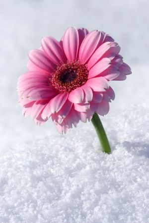 unexpectedness: Gerbera in snow