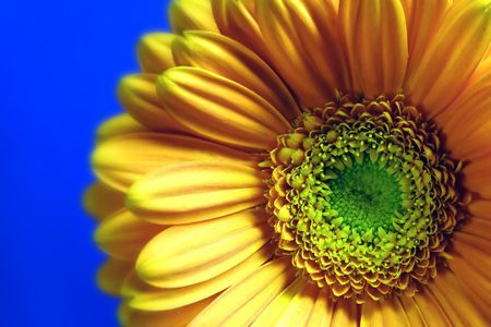 attractiveness: Gerbera Stock Photo