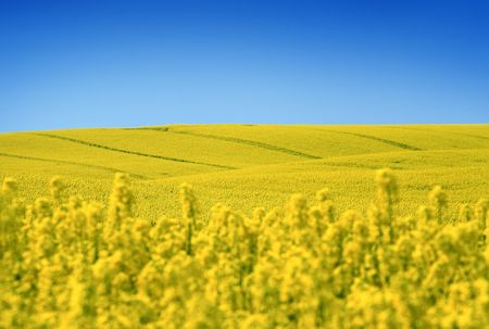 oilseed: yellow field with oil seed rape in early spring