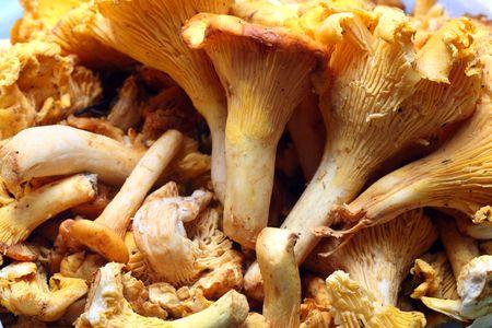 mushroom picking: Fresh chanterelle Stock Photo