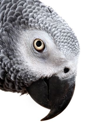 African Grey Parrot isolated on white Stock Photo - 4020736