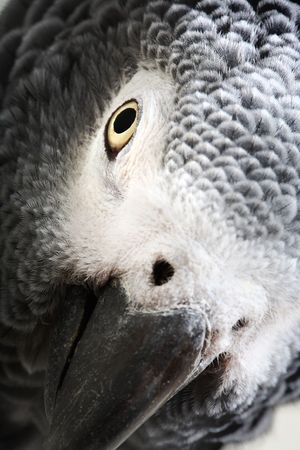African Grey Parrot isolated on white Stock Photo - 4020735