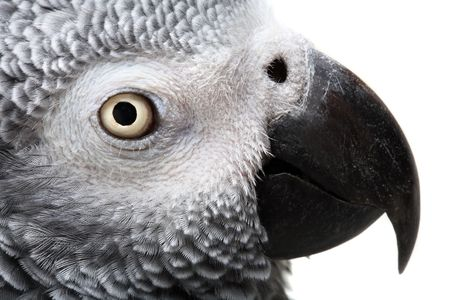 African Grey Parrot isolated on white photo