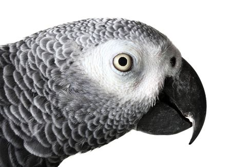 african grey parrot: African Grey Parrot isolated on white