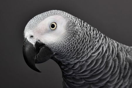 African Grey Parrot Stock Photo - 4467246