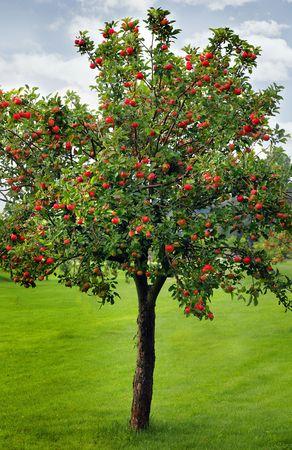 pommier arbre: Attendre pour la r�colte des pommes