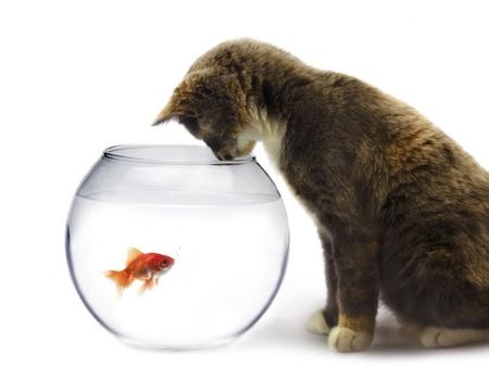 Chat et un poisson d'or Banque d'images - 8610391