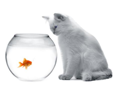 goldfishes: gatto e un pesce d'oro Archivio Fotografico
