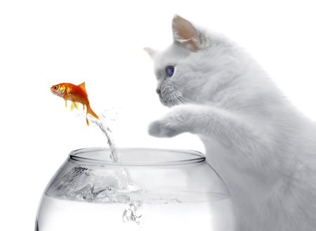 cat and a gold fish on white background